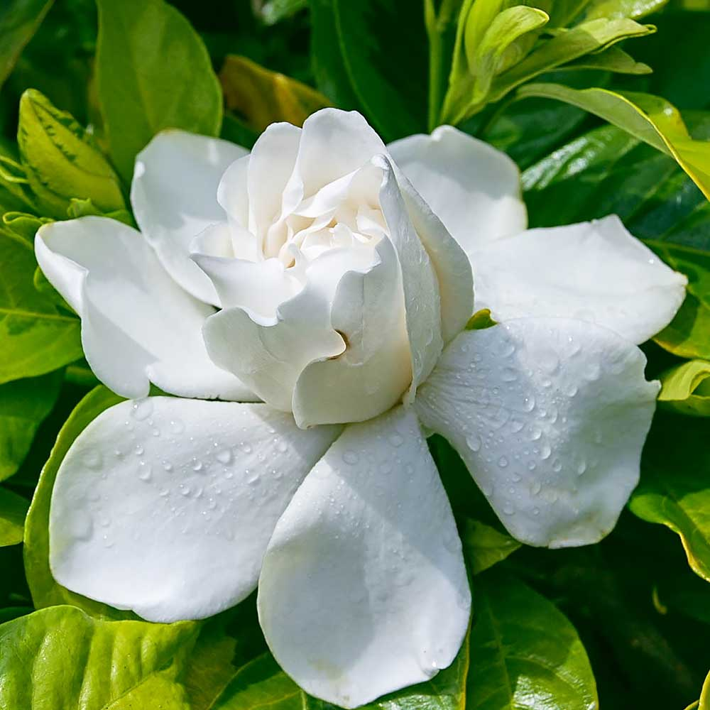 How To Plant Gardenias And Roses For Mom The Home Depot