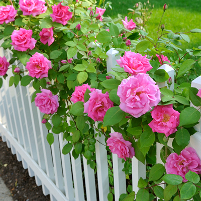 How To Care For Roses The Home Depot