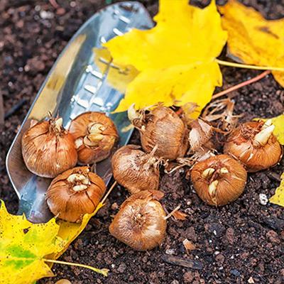 Plant Easy to Grow Fall Bulbs