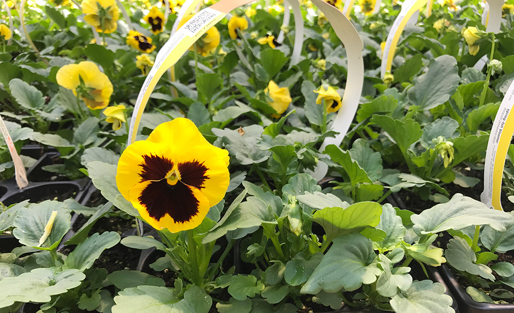 Tips for Success With Pansies
