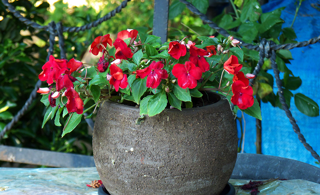 Container Gardening With Pansies