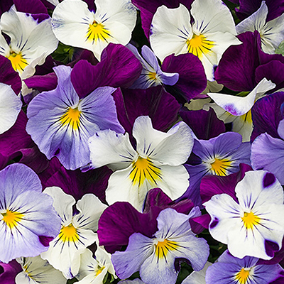 Plant Pansies for Season-Spanning Color