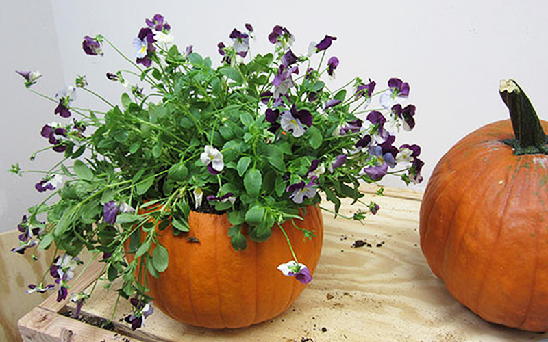 Plant Pansies in Pumpkin