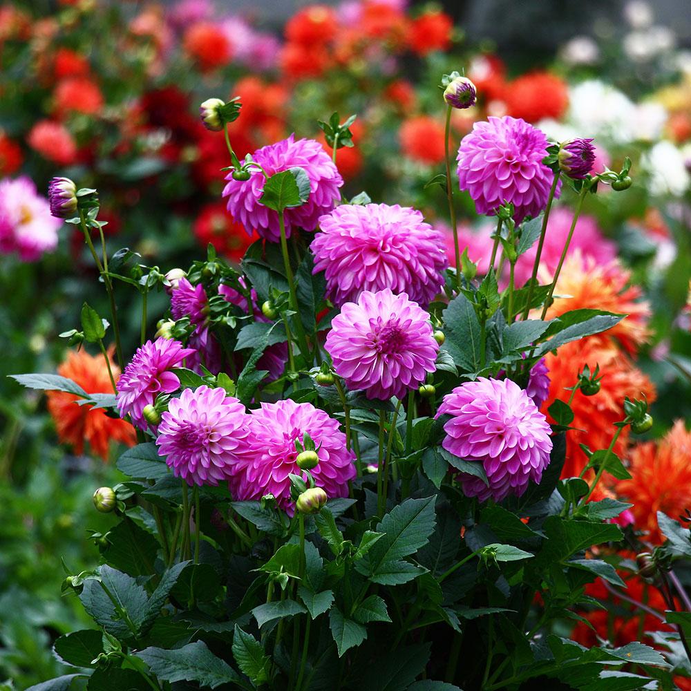 Pretty pink dahlias in a summer garden.