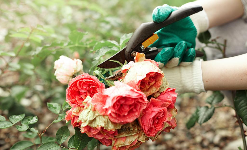 A gardener cuts flowers in the garden.