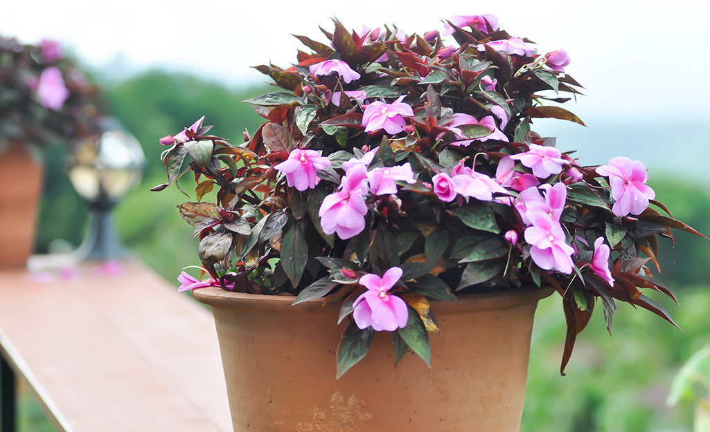 Pink impatiens in a terra cotta container