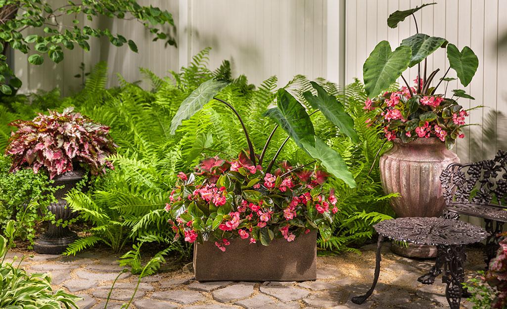 Begonias and ferns in a summer garden