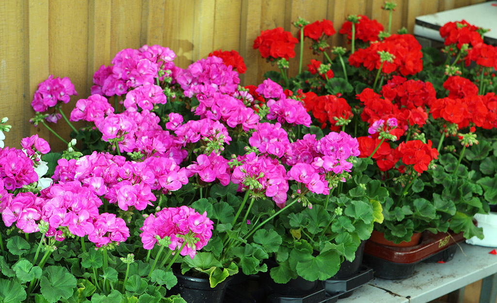 Pink and red geraniums in a border