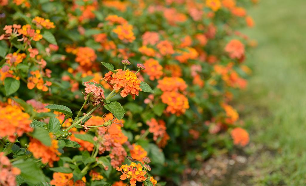 Orange lantana in a flower border