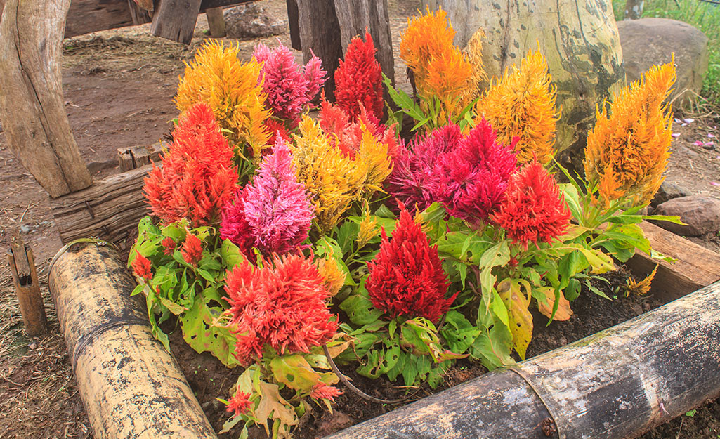 Red, orange and yellow celosia in a flower bed