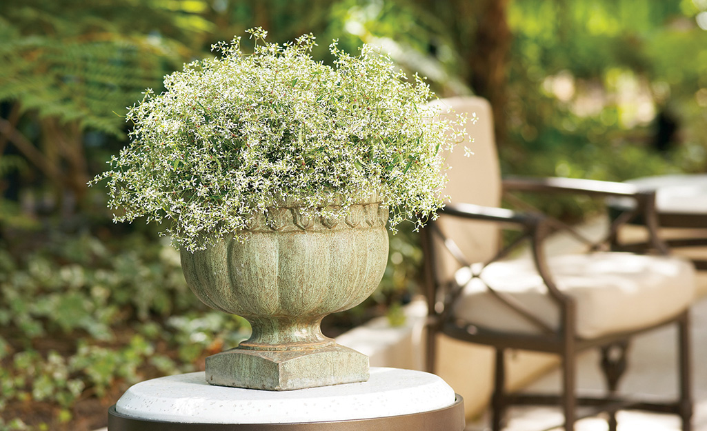 White euphorbia in a container on a patio