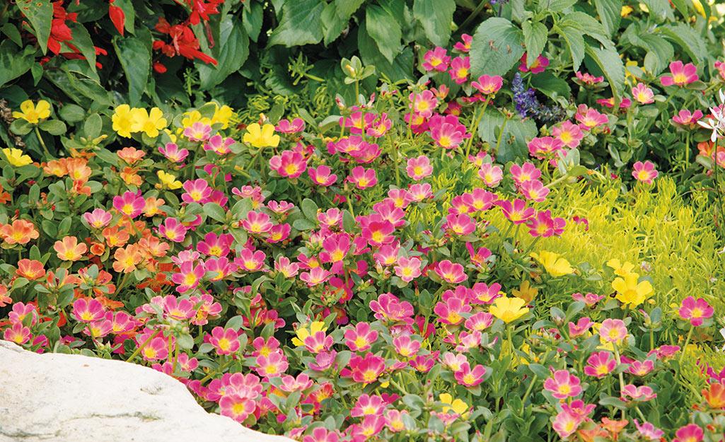 Pink portulaca in a summer garden border