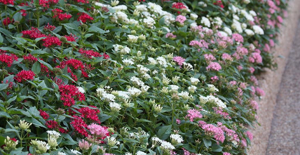 Pentas bloom in a summer flower border
