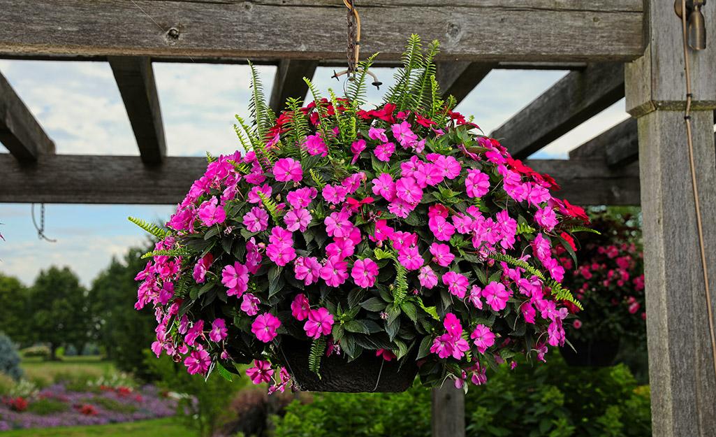 Pink impatiens in a hanging basket