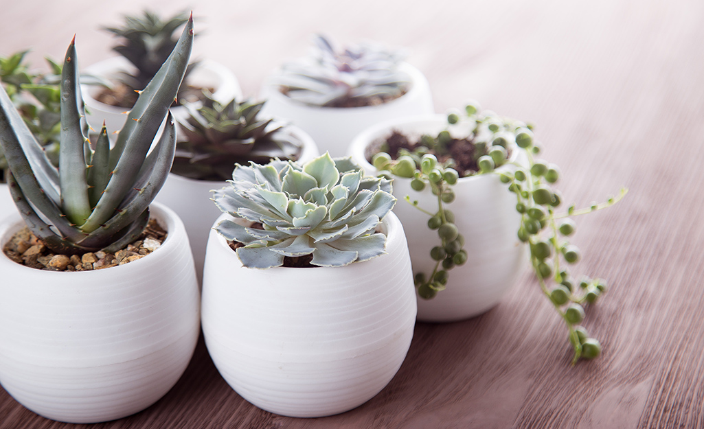 Small succulent plants in white planters.