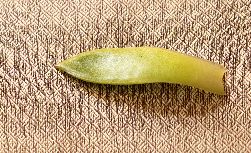 A succulent leaf on a table.