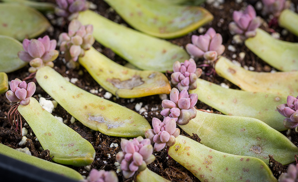 How To Propagate Succulents The Home Depot