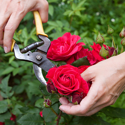 Prune Roses Now for Twice the Flower Power