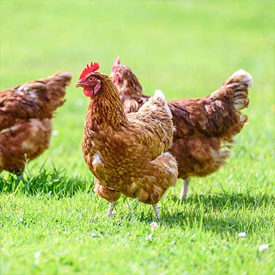 Raising Chickens 101: Could You? Would You? Should You?