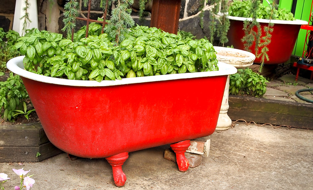 Red bathtub filled with basil
