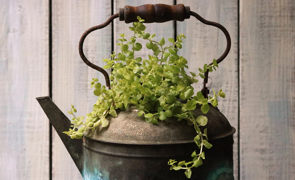 Tea kettle filled with creeping Jenny