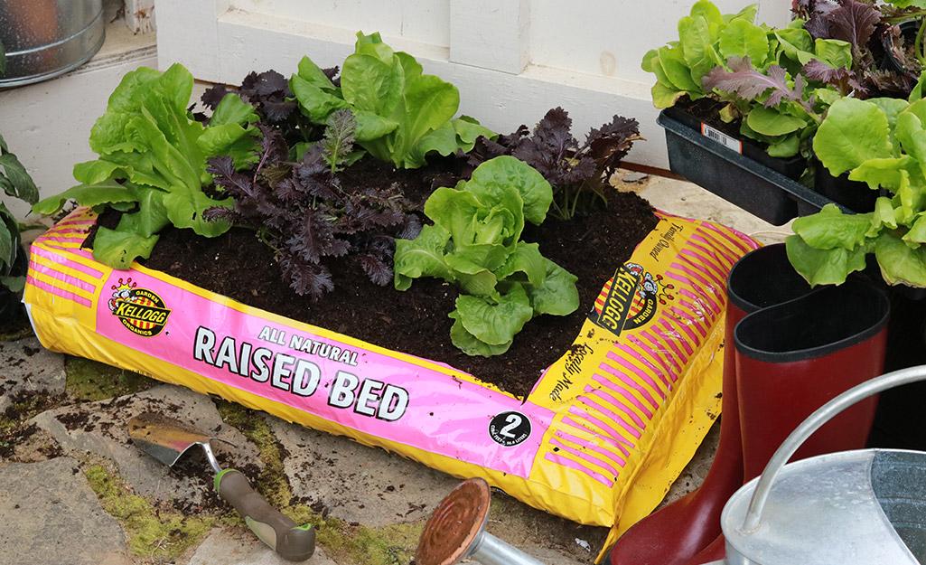 Lettuce growing in a garden soil bag