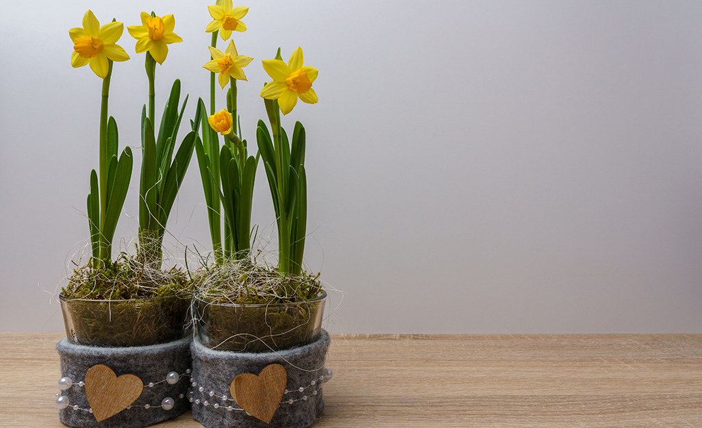 Potted yellow daffodils on a table.