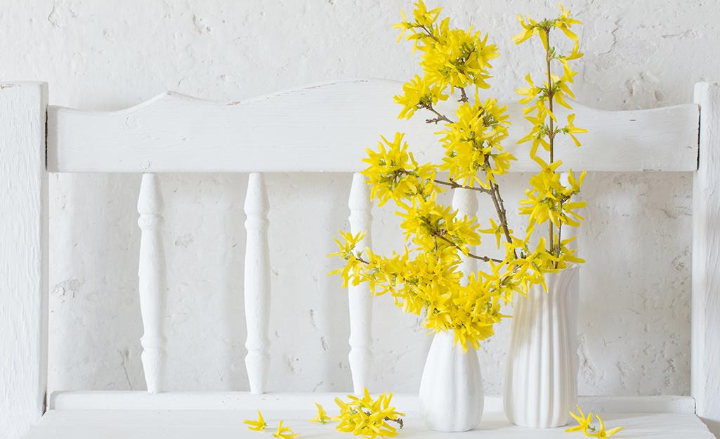Yellow forsythia bloom in a white vase.