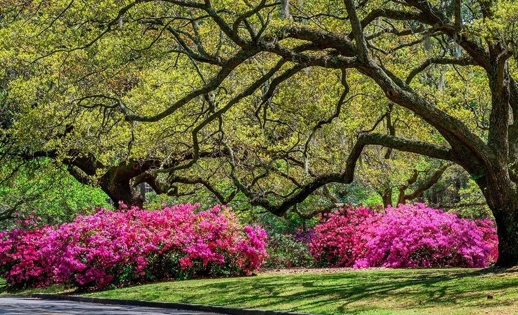 Pink azaleas under a tree canopy.