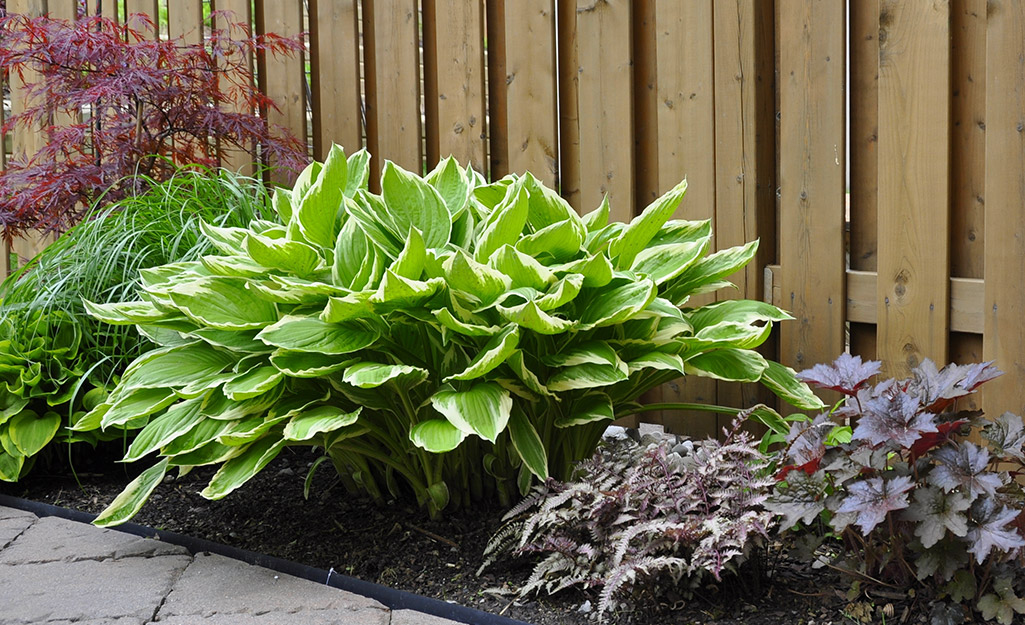 Hosta, heuchera and fern in front of a fence.