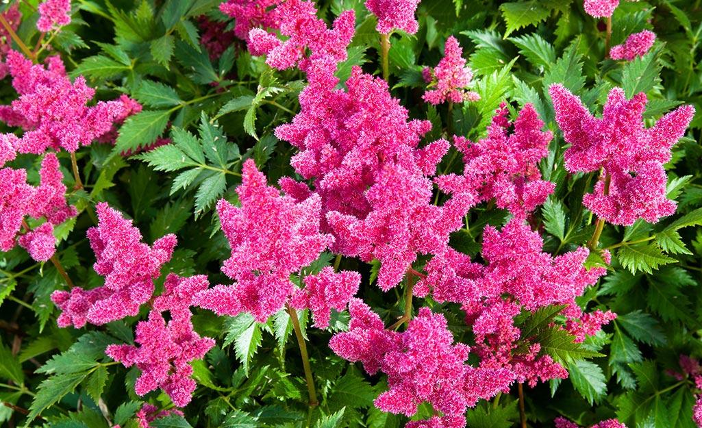 Pink astilbe blooms.