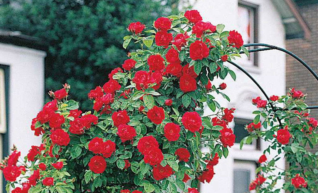 Red climbing rose on garden arch