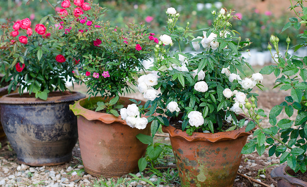 Roses in garden containers