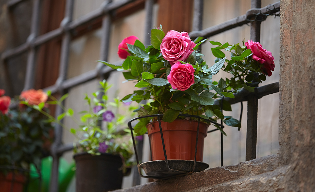 Roses potted in containers on a window ledge