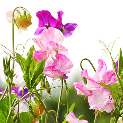 Sow Old-Fashioned Sweet Peas