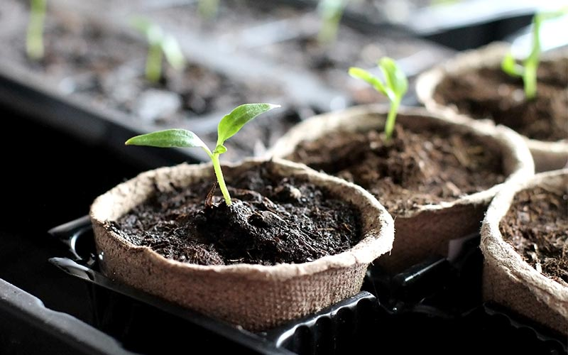 Here's How to Plant in Peat Pots