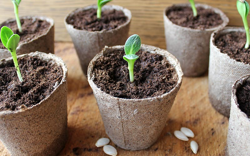 How to Transplant to Seedlings