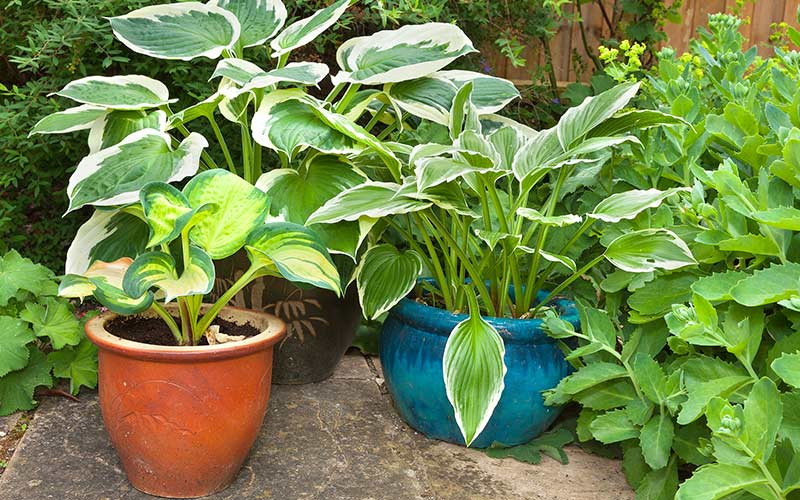 Hostas Are Easy to Grow