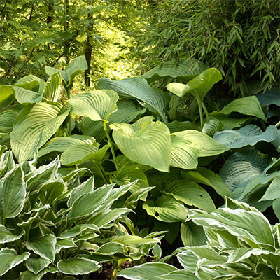 The Hostas Have It
