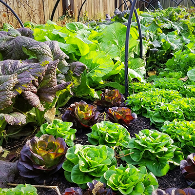 A garden planted with lettuces, kale and other leafy greens.