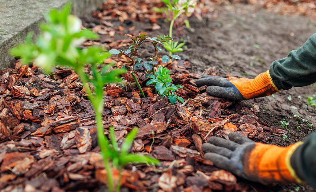 A person spreading mulch around young plants.