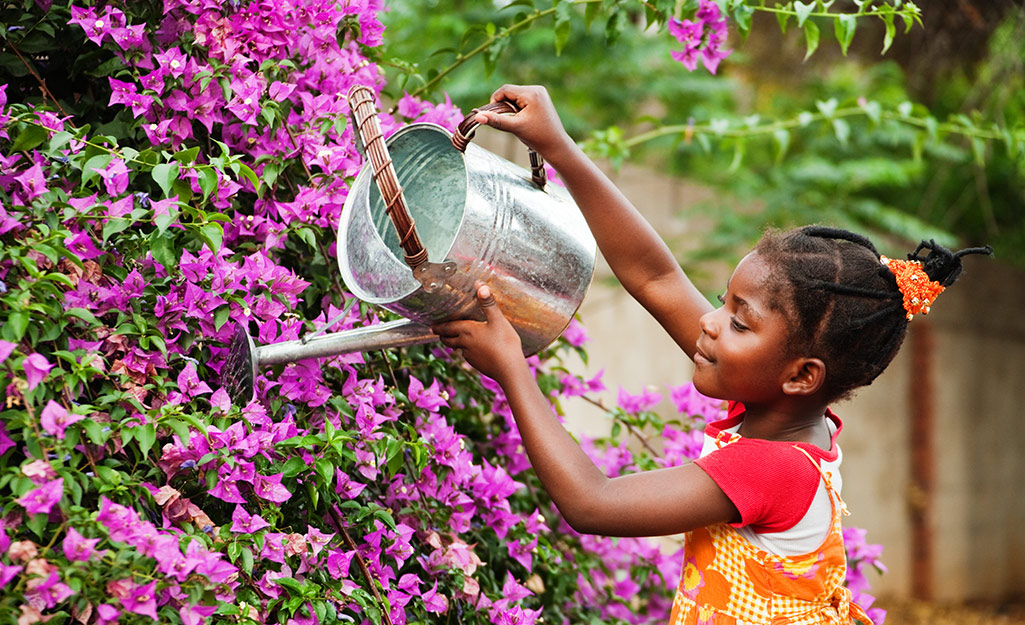 A child using a metal watering can to water a large flowering shrub.