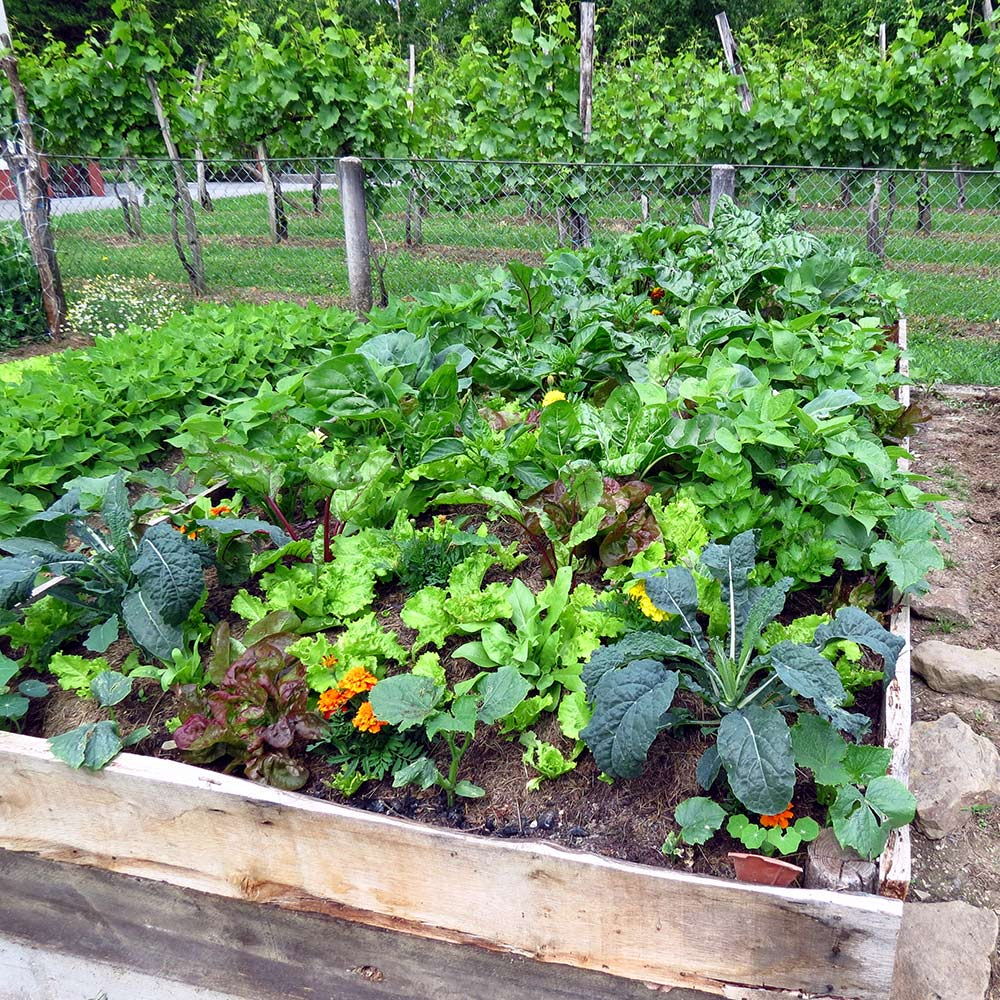 A raised garden bed with vegetables