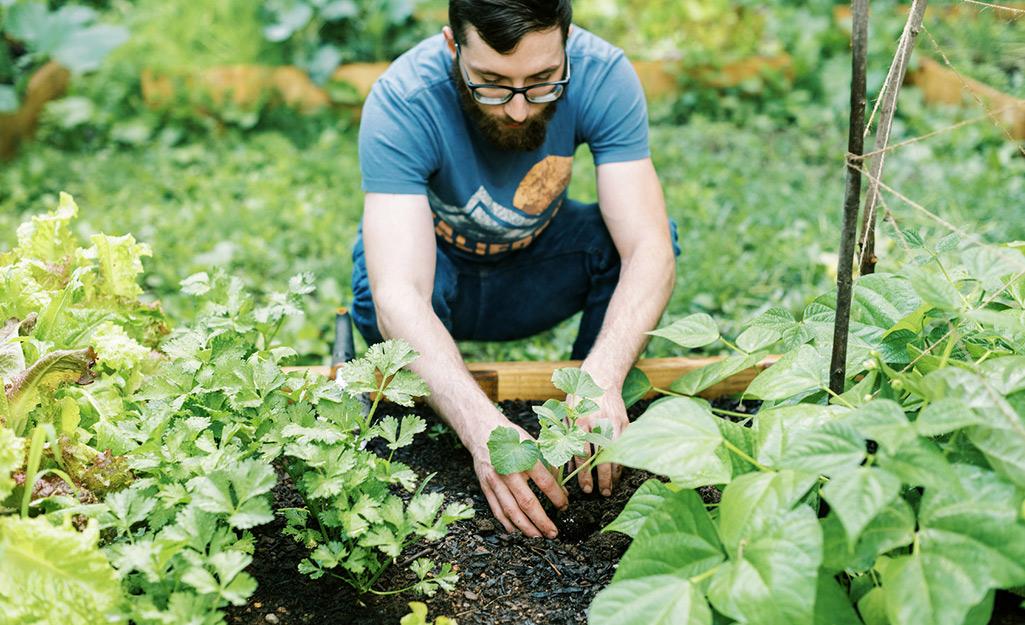 Gardener plants vegetables in a raised bed garden