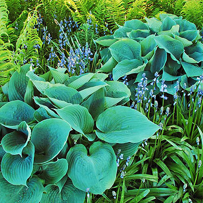 Top 5 Perennials for Shade