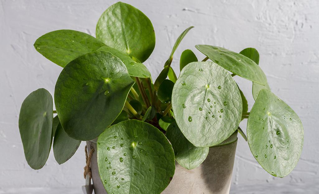 Friendship Plants (Pilea)