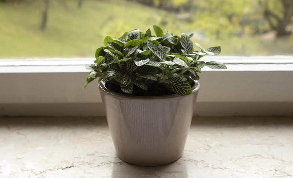 Nerve Plants (Fittonia)