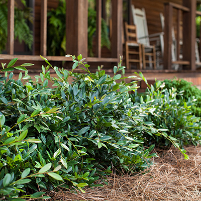 Toughen Up Your Landscape With 5 Drought-Tolerant Shrubs