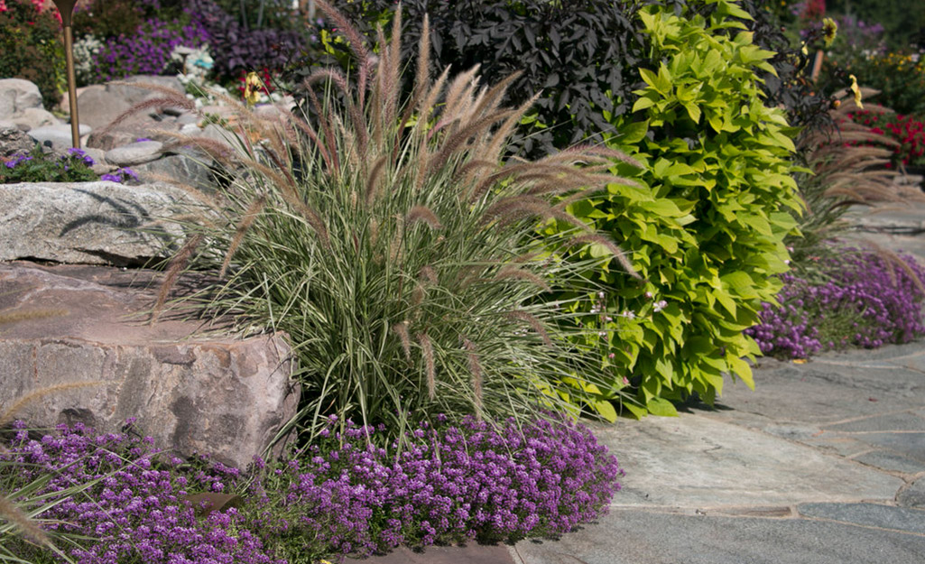 Plumes of ornamental grass in flower bed