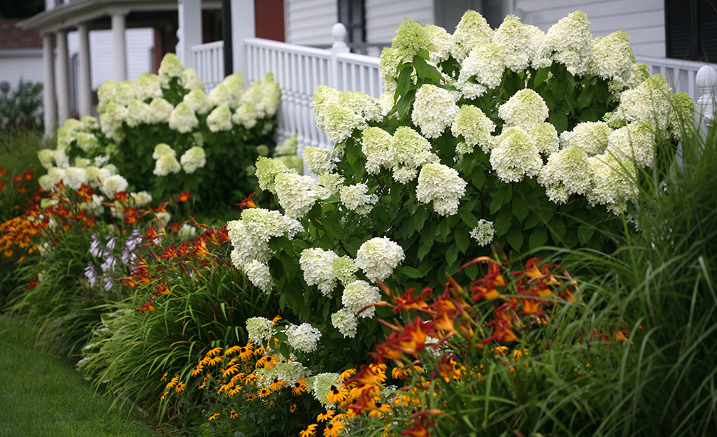 Limelight hydrangea with daylilies and rudbeckia in a garden